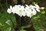 tanaman hias anggrek bulan phalaenopsis amabilis