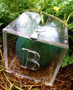 semangka kotak 02